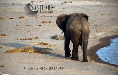African Elephant (Loxodonta Africana) And Crocodile, By River, Hwange National Park, Zimbabwe