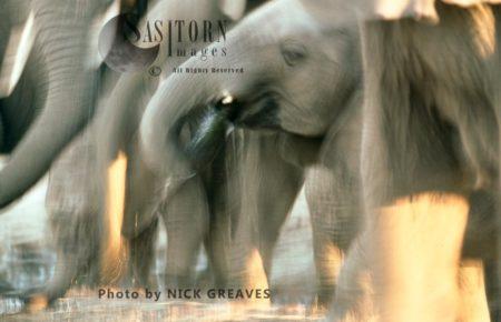 African Elephants (Loxodonta Africana), Drinking With Blur Effect, Hwange National Park, Zimbabwe