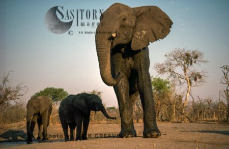 African Elephants (Loxodonta Africana), Elephant Cow And Two Calves, Hwange Safari Lodge, Zimbabwe