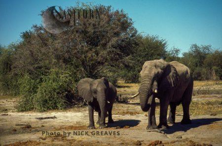 African Elephants (Loxodonta Africana), Bull And Cow, Hwange National Park, Zimbabwe