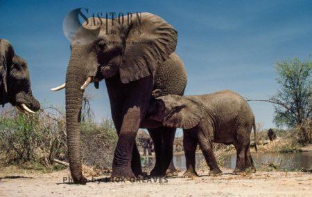 African Elephants (Loxodonta Africana), Cow And Suckling Calf, Hwange National Park, Zimbabwe