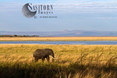 African Elephant (Loxodonta Africana) Bull In The Katisunga