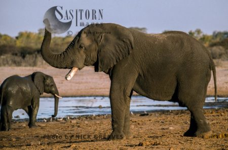African Elephant (Loxodonta Africana), Scenting, Mother And Calf, Hwange National Park, Zimbabwe