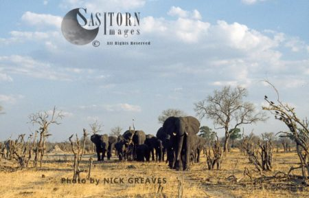 African Elephants Breed Herd, Loxodonta Africana, Hwange National Park, Zimbabwe