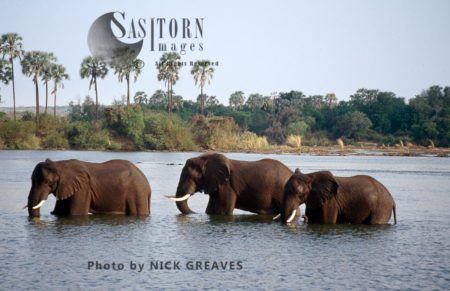 African Elephants Wadding In Water, Loxodonta Africana, Zambezi National Park, Zimbabwe