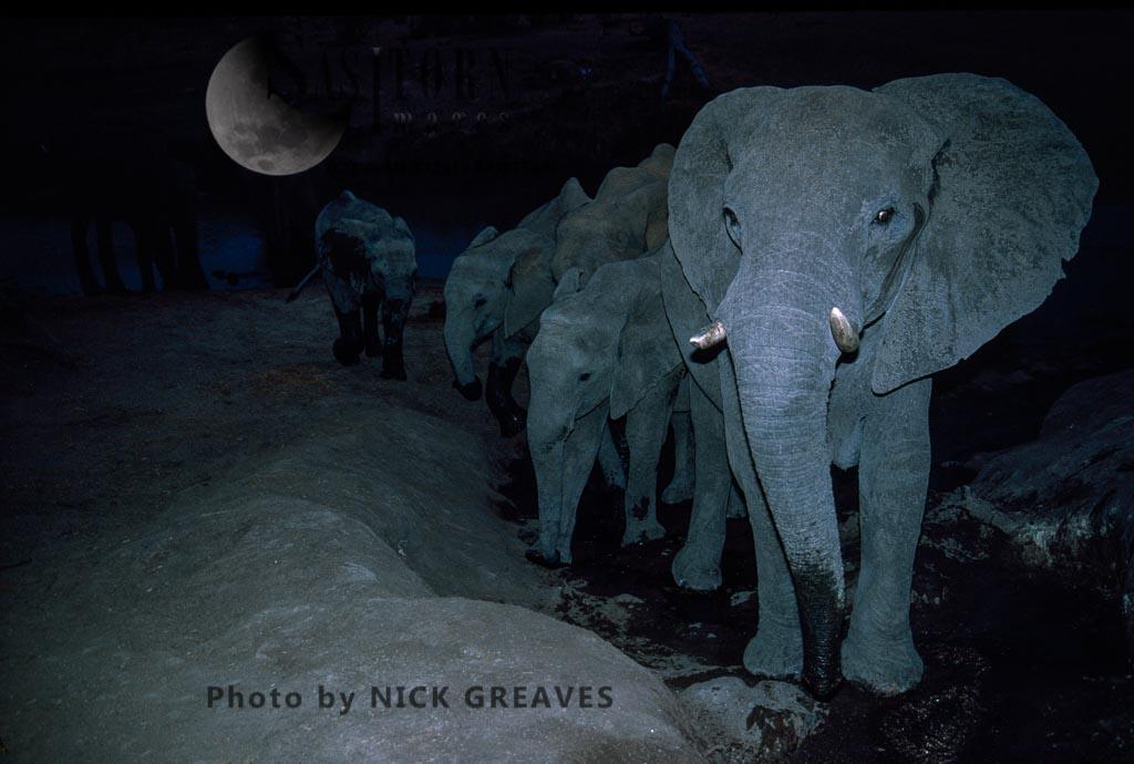 African Elephants(Loxodonta Africana), At Night, Hwange National Park, Zimbabwe