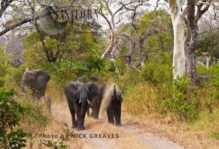African Elephant (Loxodonta Africana), Breed Herd