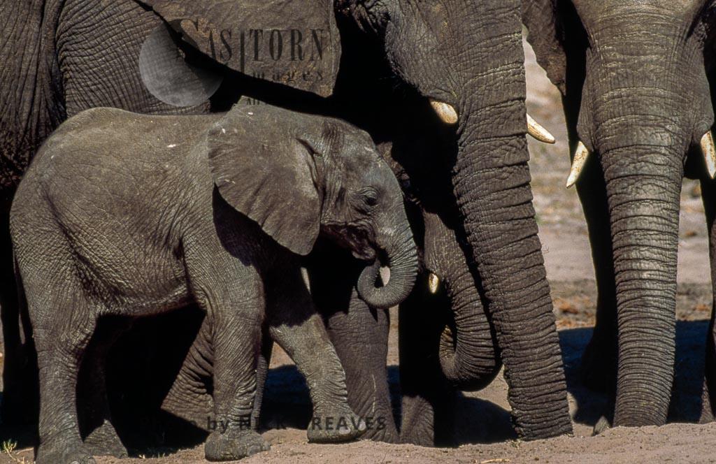 African Elephant (Loxodonta Africana), Herd At Salt Lick, Hwange National Park, Zimbabwe