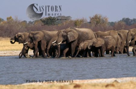 African Elephants (Loxodonta Africana), Herd At Pan, Hwange National Park, Zimbabwe