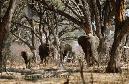 African Elephants, Breed Herd In Acacia Forest, Loxodonta Africana, Hwange National Park, Zimbabwe