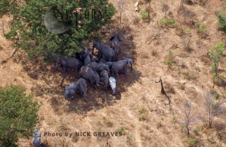 Aerial Image Of African Elephants Herd From The Air, Zambezi National Park, Zimbabwe