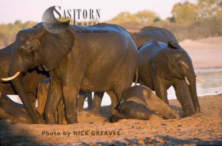 African Elephants (Loxodonta Africana), Calves Dusting In Herd, Hwange National Park, Zimbabwe