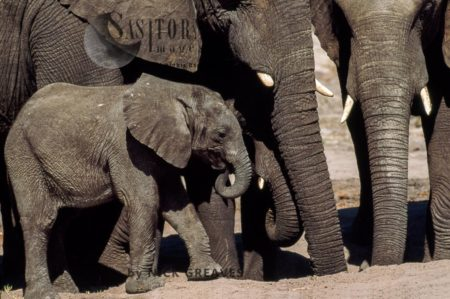 African Elephants (Loxodonta Africana), Calves With Herd At Salt Lick, Hwange National Park, Zimbabwe