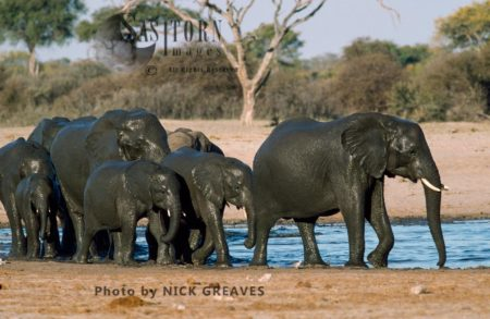 African Elephants (Loxodonta Africana), Herd After Bathing, Hwange National Park, Zimbabwe