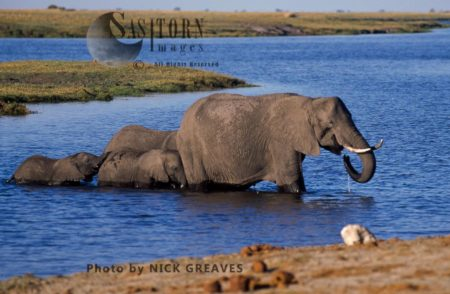 African Elephants (Loxodonta Africana), Breed Herd In River, Chobe National Park, Botswana