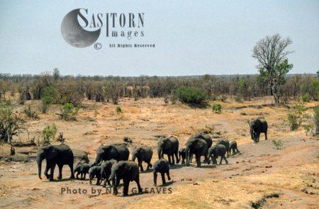 African Elephants (Loxodonta Africana), Herd Travelling, Hwange National Park, Zimbabwe