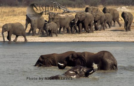 African Elephants (Loxodonta Africana), Herd Arriving At Pan And Some In Water, Hwange National Park, Zimbabwe