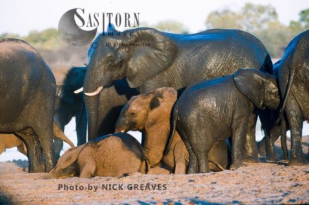 African Elephants (Loxodonta Africana), Calves Dusting In Herd, Zambezi National Park, Zimbabwe