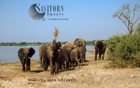 African Elephants (Loxodonta Africana), Herd By River, Chobe National Park, Botswana