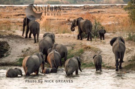 African Elephants (Loxodonta Africana), Herd Crossing Chobe, Chobe National Park, Botswana