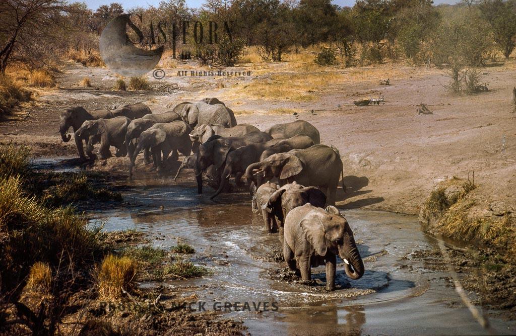 African Elephant Breed Herd At Pan, Loxodonta Africana, Hwange National Park, Zimbabwe