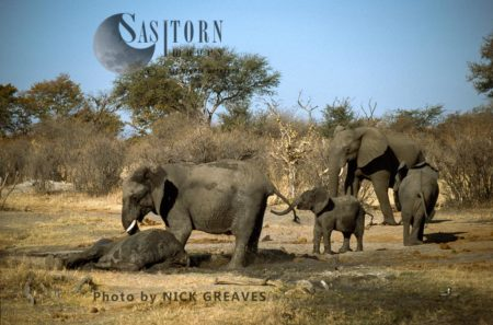 African Elephants (Loxodonta Africana), Herd With Cows And Calves, Cow Tried To Wake Darted Calf , Hwange Safari Lodge, Zimbabwe
