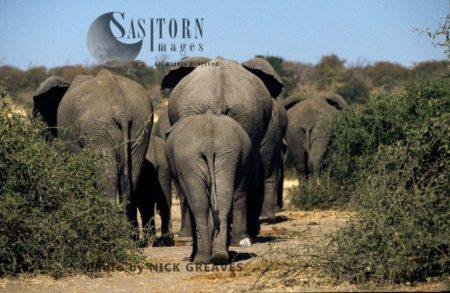 African Elephants (Loxodonta Africana), Herd Leaving, Chobe National Park, Botswana, Africa