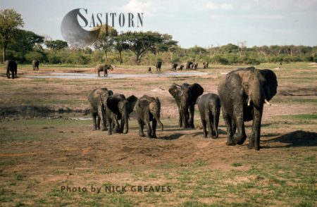 African Elephants (Loxodonta Africana), Breed Herd, Hwange National Park, Zimbabwe