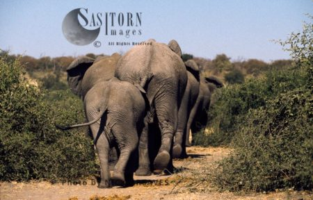 African Elephants (Loxodonta Africana), Herd Leaving, Chobe National Park, Botswana