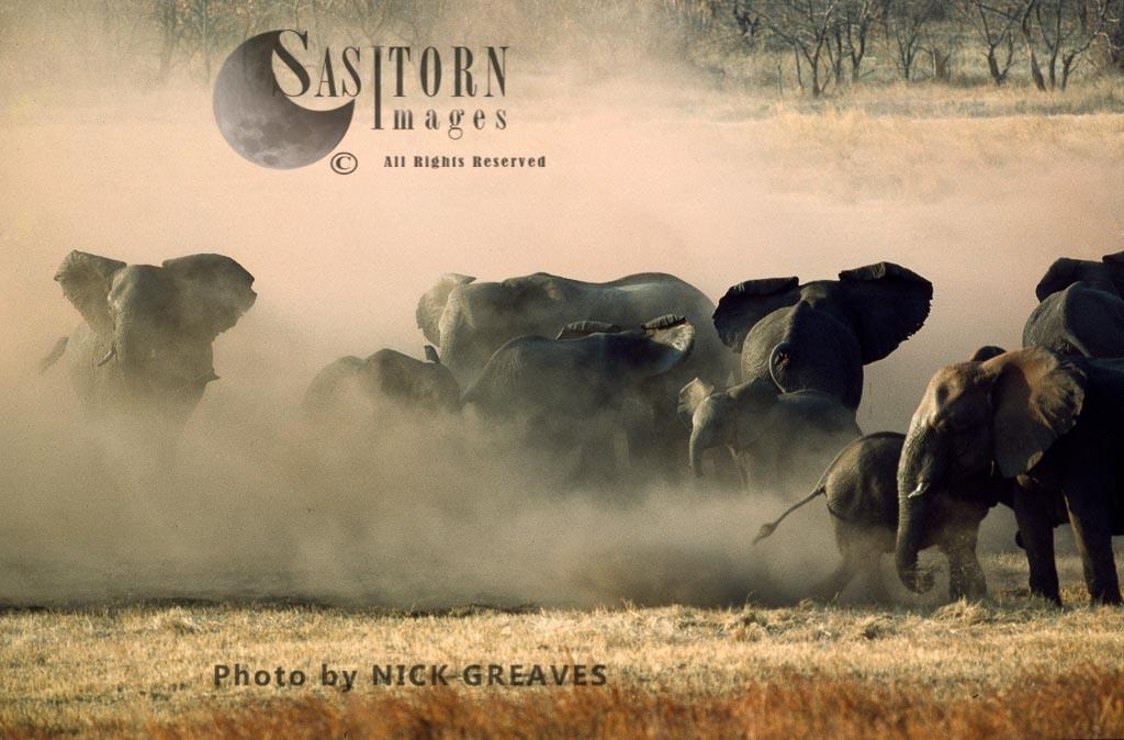 African Elephant (Loxodonta Africana), Dusting, Herd In Dusk Cloud, Hwange National Park, Zimbabwe