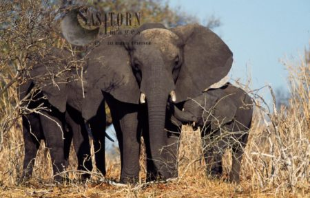 African Elephant (Loxodonta Africana), Cow With Two Calves, Chobe National Park, Botswana