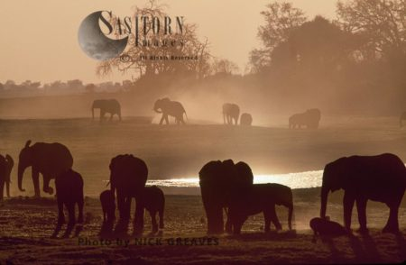African Elephants Herd At Dusk, Loxodonta Africana, Chobe National Park, Botswana
