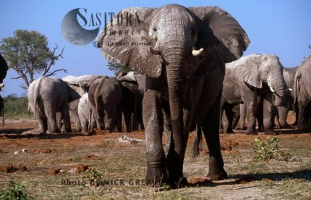 African Elephants (Loxodonta Africana), Bull With Herd At Salt Lick, Savuti, Chobe National Park, Botswana