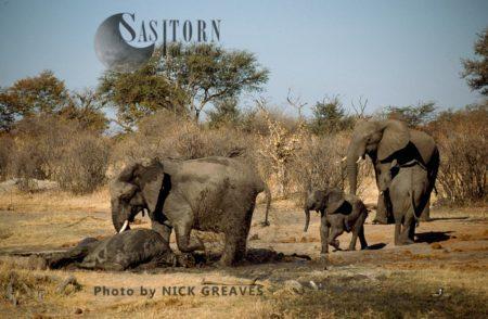 African Elephants (Loxodonta Africana), Lifting Darted Female, Hwange National Park, Zimbabwe