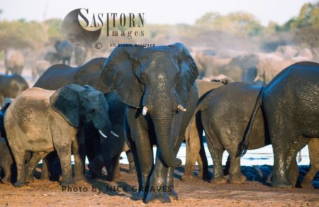 African Elephants (Loxodonta Africana), At Waterhole, Hwange National Park, Zimbabwe