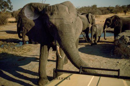 African Elephants (Loxodonta Africana), Elephant Cow, Hwange Safari Lodge, Zimbabwe