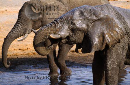 African Elephants (Loxodonta Africana), Drinking Water, Hwange National Park, Zimbabwe