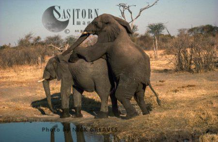 African Elephants (Loxodonta Africana), Bull And Cow Mating, Hwange National Park, Zimbabwe, Elephants Mounting, Reproduction