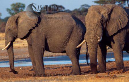 African Elephants (Loxodonta Africana), Mature Bulls By River, Hwange National Park, Zimbabwe