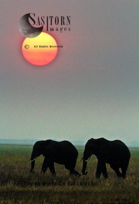 African Elephants (Loxodonta Africana) Bulls At Sunset