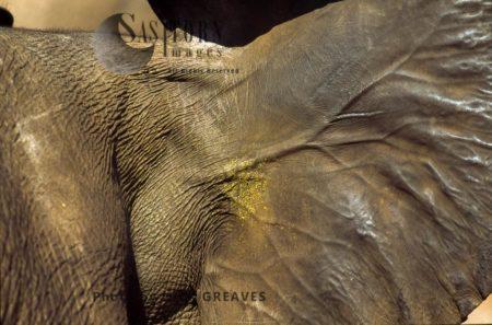 African Elephant (Loxodonta Africana), Ears And Veins Close Up, Hwange National Park, Zimbabwe, Close-up