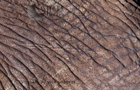 African Elephant (Loxodonta Africana), Close Hide (skin), Hwange National Park, Zimbabwe