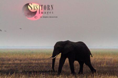 African Elephant (Loxodonta Africana) Bull At Sunset