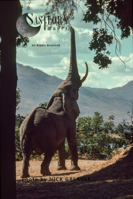 African Elephant (Loxodonta Africana), Feeding On Winter Thorn Pods, Mana Pools National Park, Zimbabwe