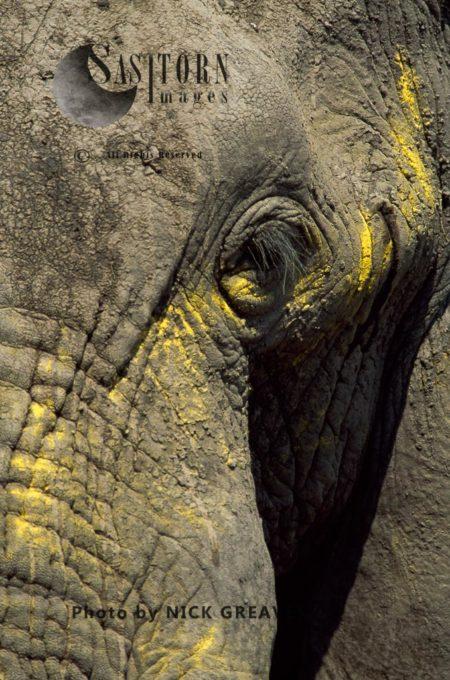 African Elephant (Loxodonta Africana), Close Up Bull Face Covered With BullRush Pollen, Moremi Game Reserve, Okavango Delta, Botswana.