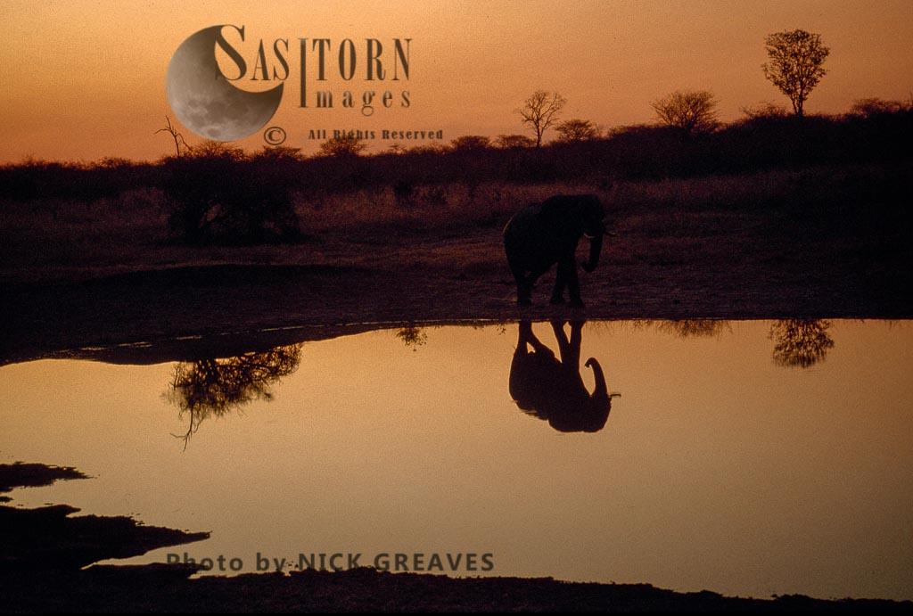 African Elephant (Loxodonta Africana) Reflections In Water,  Hwange National Park, Zimbabwe