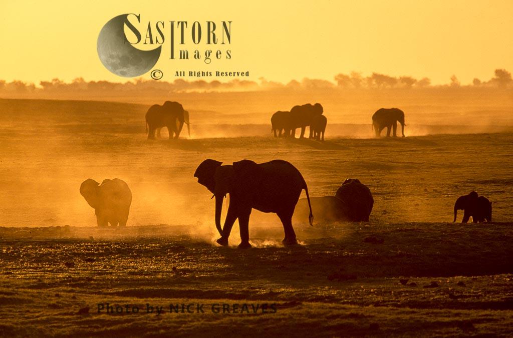 African Elephant (Loxodonta Africana), Herd Dusting At Dusk, Chobe National Park, Botswana