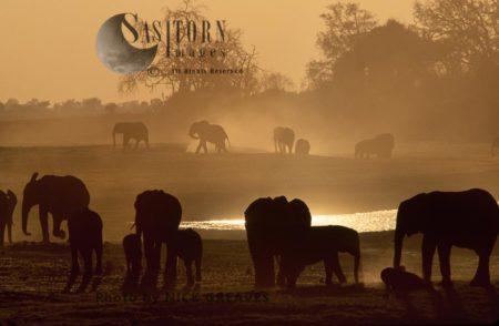 African Elephants (Loxodonta Africana), Herd Dusting At Dusk, Chobe National Park, Botswana