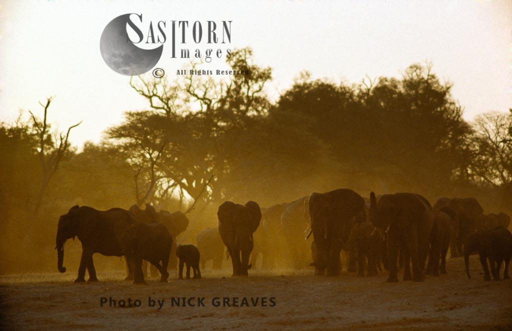 African Elephant (Loxodonta africana), herd emerging from acacia forest at sunset, Hwange National Park, Zimbabwe