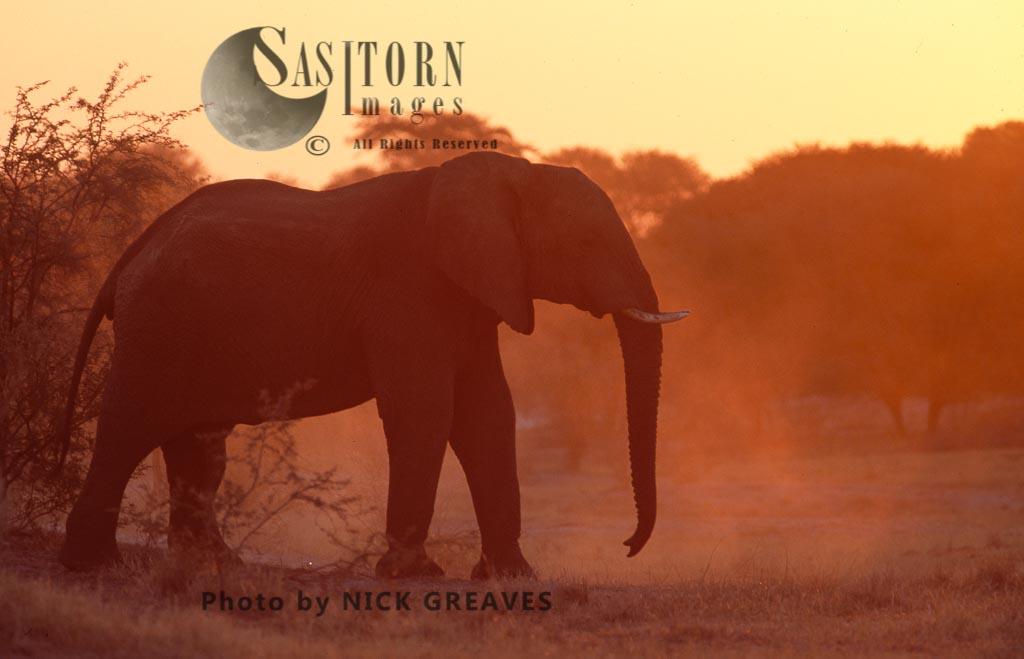 African Elephant (Loxodonta africana), silhouette, Central Kalahri National Park, Botswana